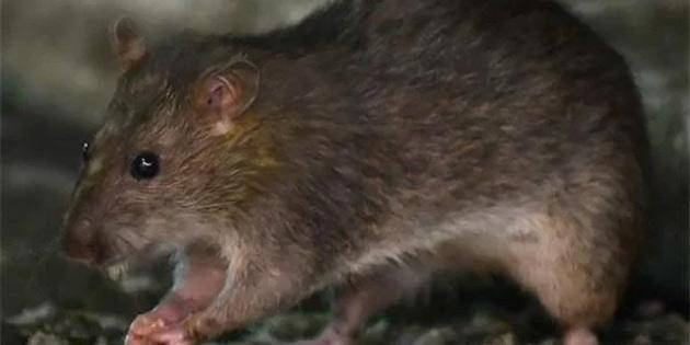 Sıçanların Koronavirüs Nedeniyle Son Derece Saldırganlaştığı Gözlemlendi