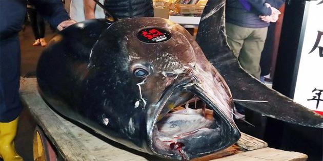 Dev ton balığı 3 milyon dolardan yüksek fiyata satıldı