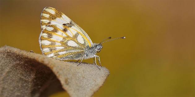 Bu kelebek Türkiye'de ilk kez görüldü