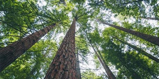 Ağaçlar, ormandaki insan bedeni ya da kalıntılarının yerini belli ediyor!