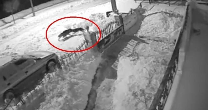 Aç kalan kurt şehre inip köpeğe saldırdı