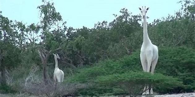 Kaçak Avcılar, Nadir Olarak Görülen Beyaz Zürafa ve Yavrusunu Öldürdüler