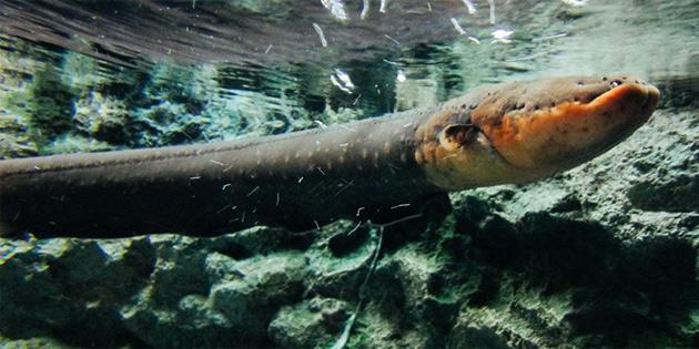 Rekor Ölçekte Elektrik Akımı Veren Yeni Bir Yılan Balığı Türü Keşfedildi