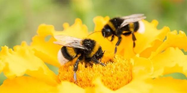 Artan sıcaklıklar, yaban arılarının toplu olarak yok olmasına neden olabilir