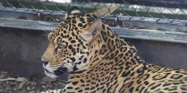 ABD'de hayvanat bahçesinde jaguar 6 hayvanı öldürdü