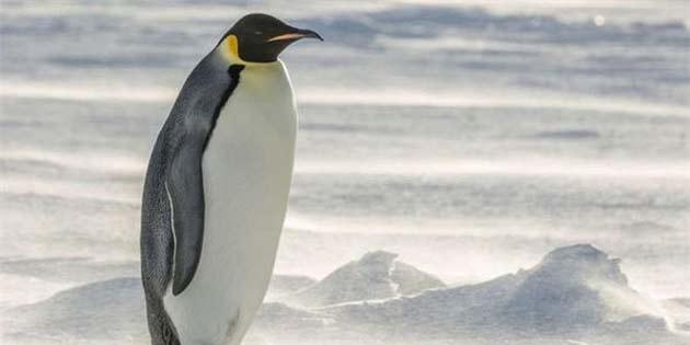 Bilim İnsanları, Bir Zamanlar İnsan Boyunda Penguenlerin Yaşadığını Keşfetti