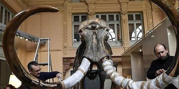 Tüylü mamutun iskeleti 548 bin euro'ya satıldı