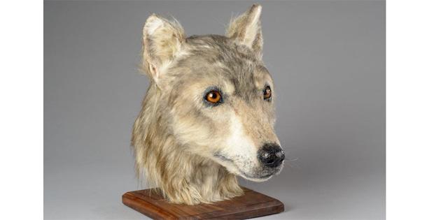 Köpekler, 4000 Bin Yıl Önce İşte Böyle Görünüyorlardı