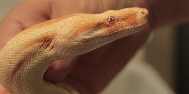 Samsun'da yasa dışı beslenen piton ve boa yılanına el konuldu