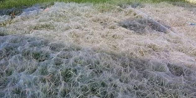 Dev örümcek kolonisi evin bahçesini işgal etti!