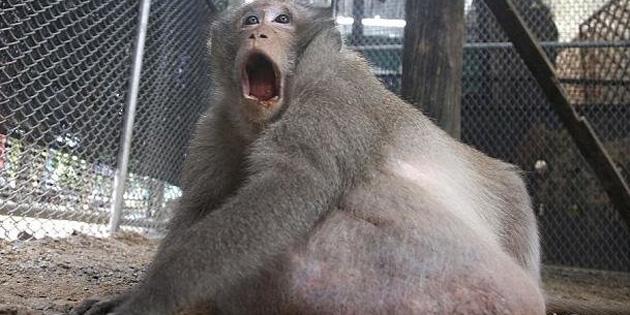 Obez maymun 'Şişko Amca' diyete sokuldu