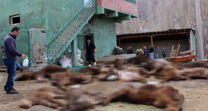 Çobanın ilgilenmediği 20 büyükbaş hayvan telef oldu - VIDEO