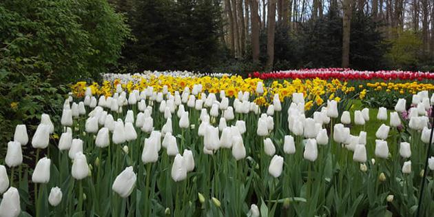 Hollanda, lale bahçelerini korumak için selfie meraklılarına karşı önlem alacak