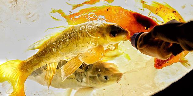 Balıkları biberonla besliyorlar