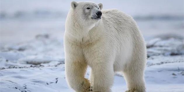 Kutup Ayıları, 80 Yıl İçerisinde Yok Olma Tehlikesiyle Karşı Karşıya Kalacak