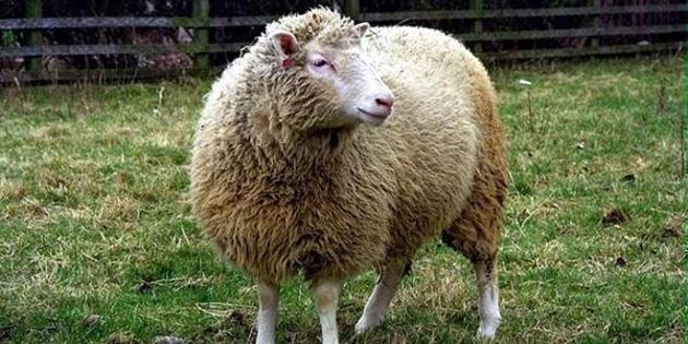 Klon koyun Dolly, neden öldü?