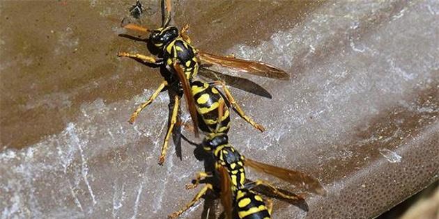 Katil eşek arısı alarmı verildi!