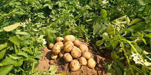 Patates �reticilerine �r�n bedelleri �dendi