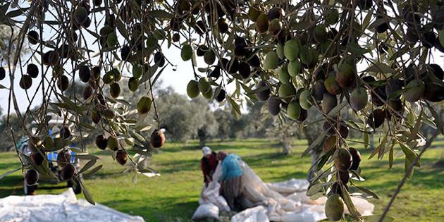 Gazimağusa ilçesinde zeytin hasadına başlama tarihleri açıklandı