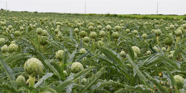Tarım Dairesi enginar ürününde geçici tavsiye alan bitki koruma ürünleri konusunda açıklama yaptı