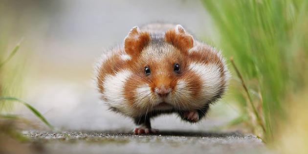 Turunçgil bahçelerinde fareyle mücadele kampanyası