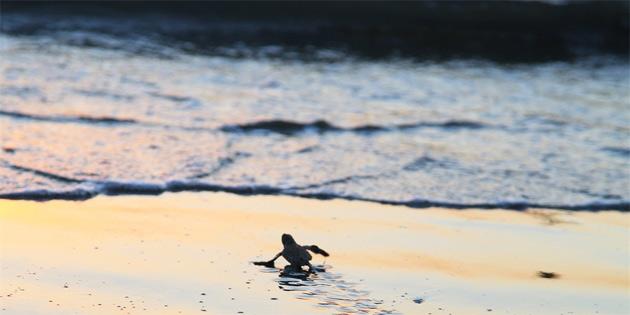 Yavru kaplumbağalar denizle buluşuyor