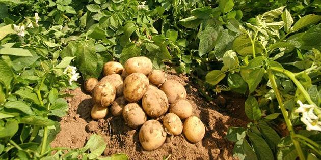 Tar�m Dairesi'nden Patates E�itim Program�…