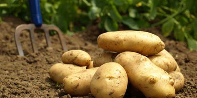 "T�K: ""700 ton patates ihra� edilecek"""