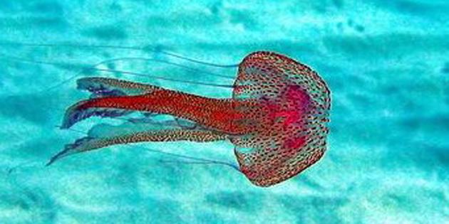 """""""Denizlerin ısınması ve kirlilik, denizanası sorunu yaratıyor"""""""