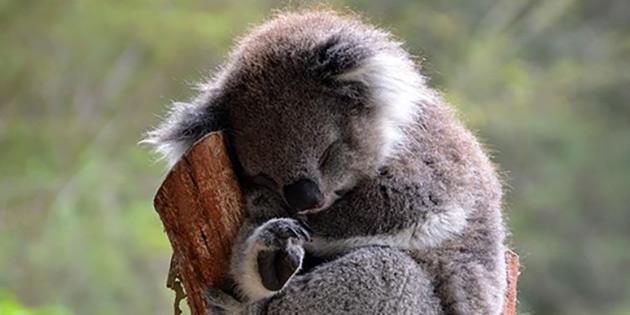 İklim değişikliği koalaları riske atıyor